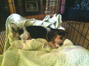 "Photo courtesy of Jimmy Edwards. Sadie, an 8-week-old beagle, lays in her bed in fourth-year pharmacy major Jimmy Edwards' home in Shaler. The family's last dog was killed when Edwards' father opened fire in the home in August. Edwards said Sadie is a ""ball of energy."""
