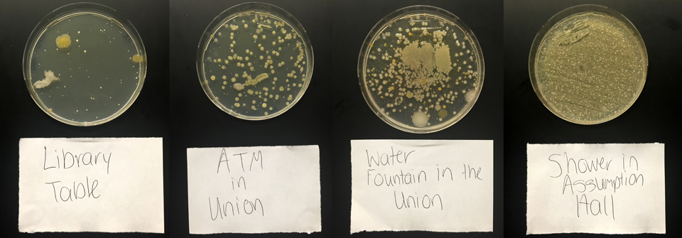 Photo courtesy of Brittany West These Petri dishes are filled with several strains of bacteria collected from frequently visited sites on Duquesne's campus.