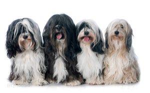 four Tibetan terrier