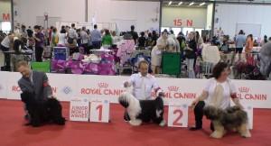 Milano 2015 exposition Mondiale canine le 14 juin 2015 jamyang jampay 2ème en classe jeune