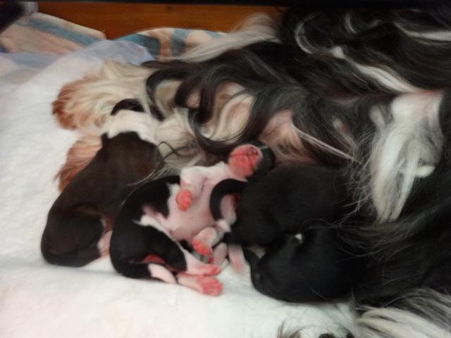 naissance, chiots, bébés, tibetain terrier