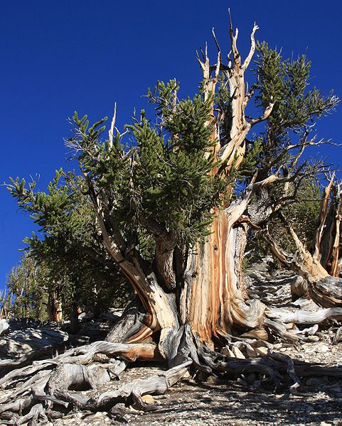The oldest tree on earth, great basin bristle cone pine, Oldest trees, over 5000 years old, in California