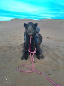 Camel on the Sahara