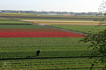 Flower Fields from the Windmill