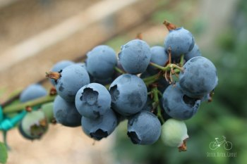 Netherlands Blueberries UPick