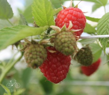 Raspberries Netherlands Greenhouse