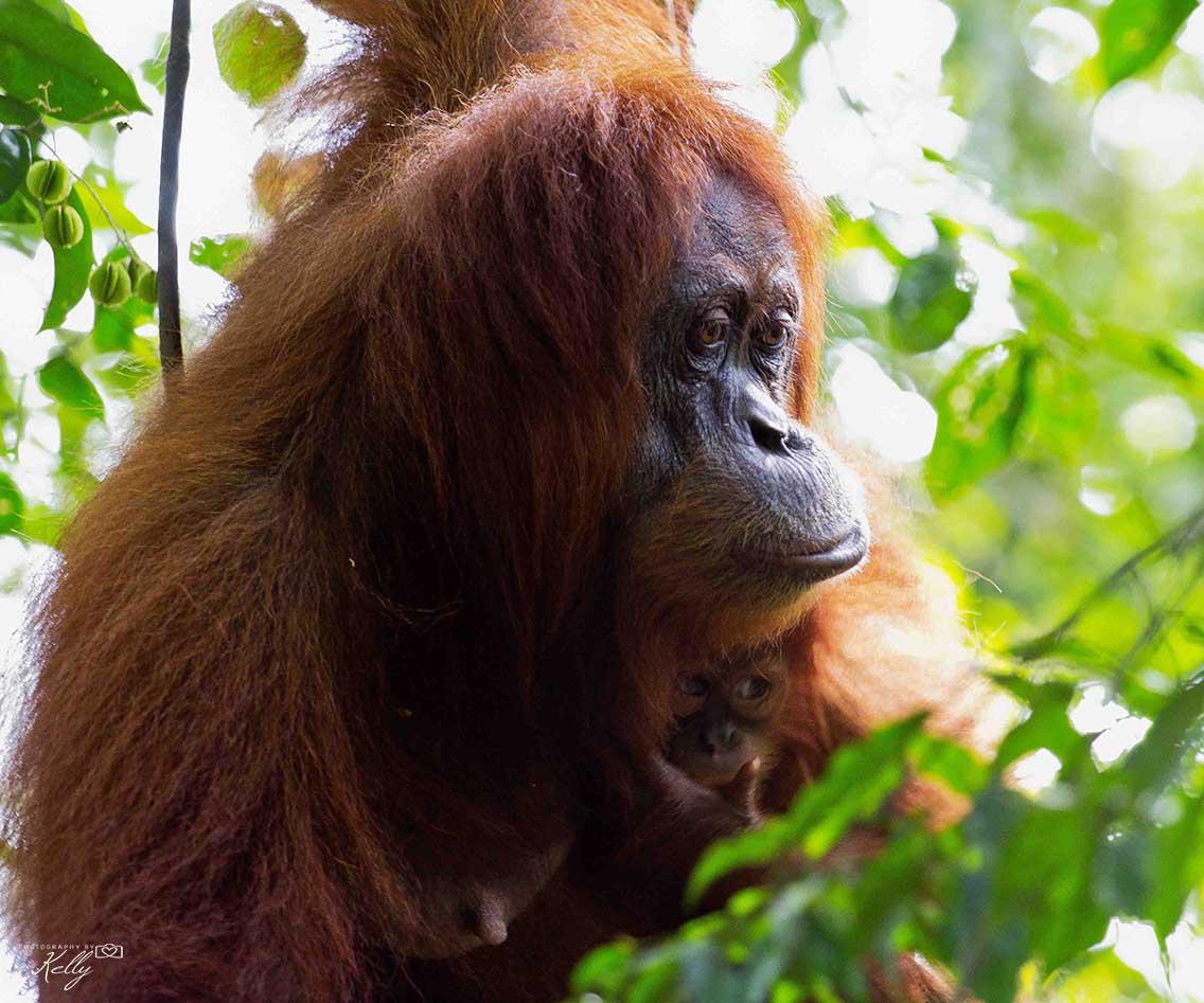 Bukit Lawang: op zoek naar orang-oetans