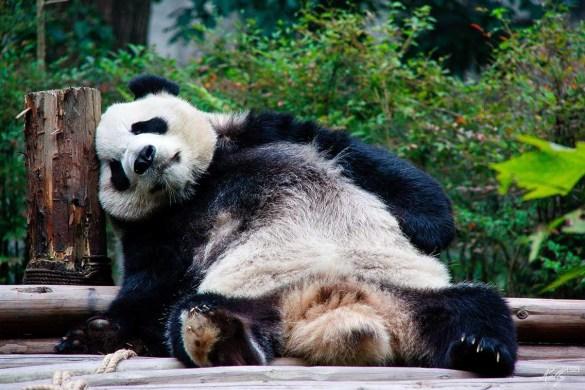 Reuzenpanda's Ouwehands Dierenpark