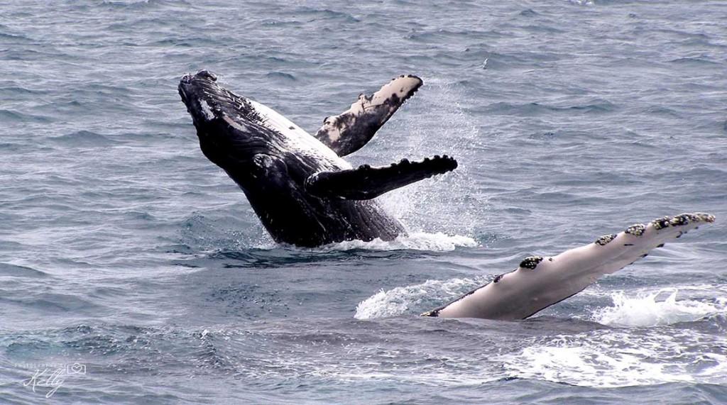 Australia, whale, Fraser Island