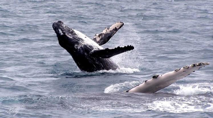 Walvissen Fraser Island