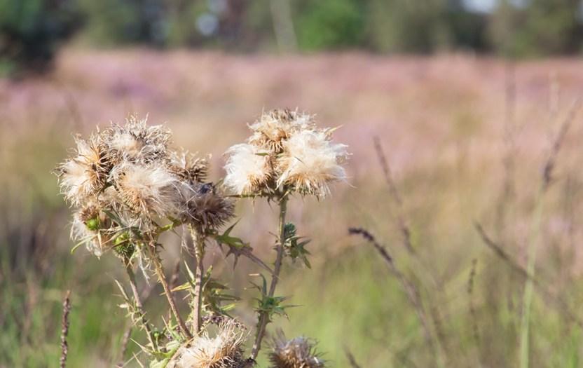 Wandelen over de Strabrechtse Heide