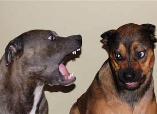 gevaarlijke honden die bijten