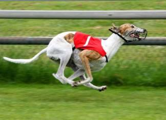 Wat is het snelste hondenras ter wereld? De top 10
