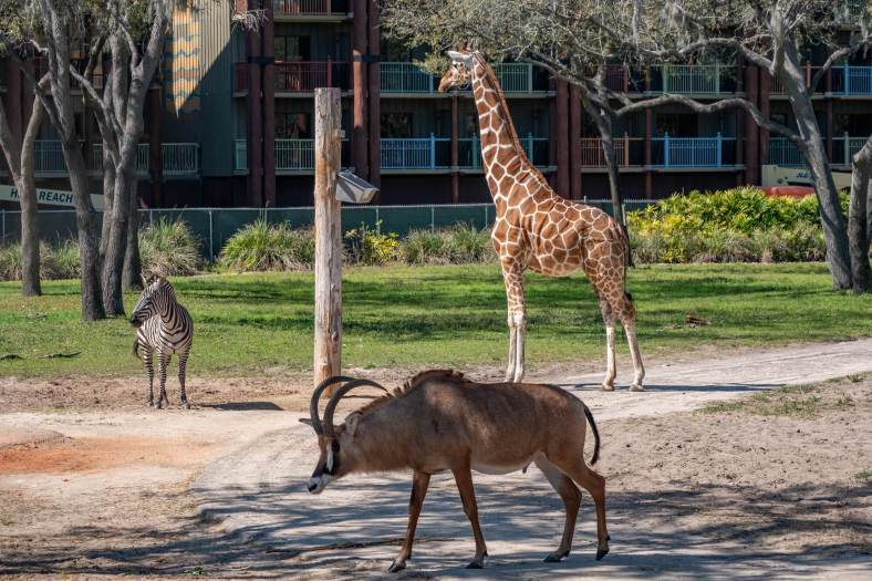 Residents at Disney's Animal Kingdom Villas