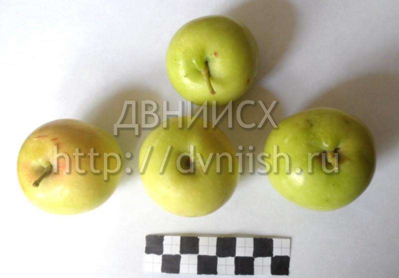 Яблоня Грушовка восточная