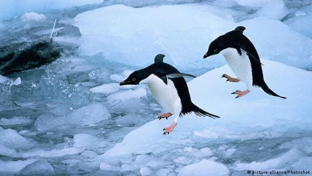Adélie penguins. Photo credit: picture-alliance / Photoshot.