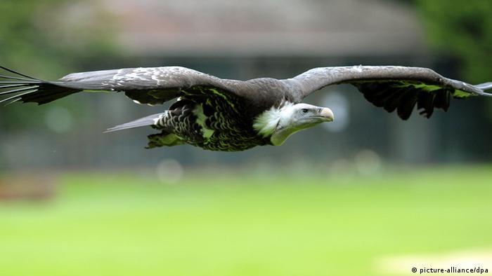 Sperbergeier Weltvogelpark Walsrode