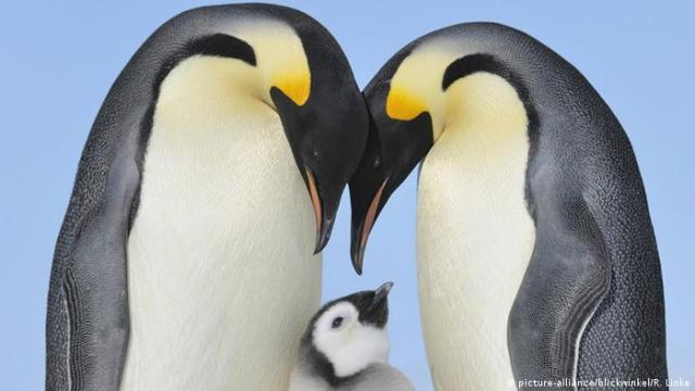 Emperor penguins with a chick. Photo credit: picture-alliance / blickwinkel / R. Linke.