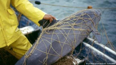 Artensterben Schweinswal Vaquita (picture-alliance/dpa/C. Faesi/WWF)