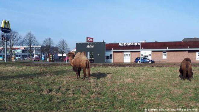 Two circus camels stand in a meadow opposite a McDonald's restaurant