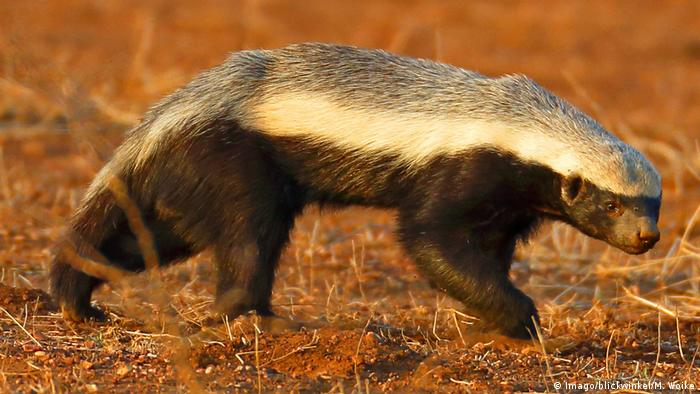 Honey Wolverine Vs Badger Animal