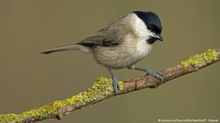 A willow tit on a branch.  In the UK, the birds are almost extinct