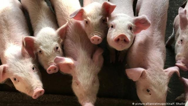 China Afrikanische Schweinepest | Symbolbild Schweine in Shenzhen (picture-alliance/imagechina/Y. Shuiling)