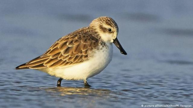 A spoon-billed sandpiper walks through water