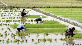 North Korean farmers work at their rice fields AFP/AFP/Getty Images