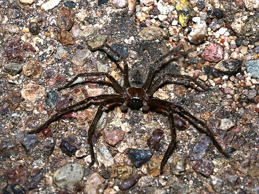 "Giant Crab Spider (approx. 5"" total diameter). Sonoran Desert, AZ, 2014."