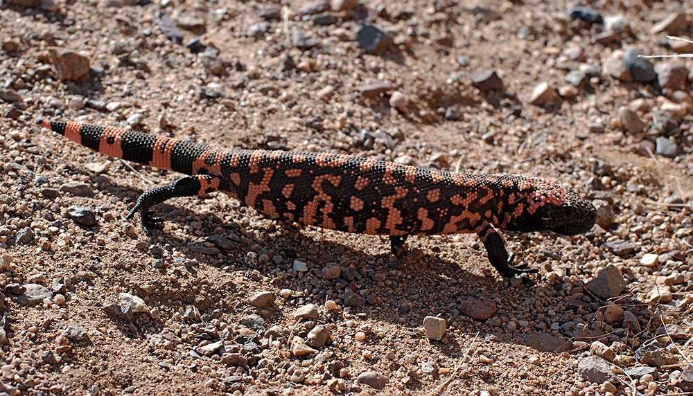 """Gila Monster, southern AZ, 200?. Neurotoxic and potentially lethal, but there are few if any deaths recorded. Maybe its looks and ferocious aggression display serve to discourage folks from getting too curious. Hurts like fire and won't let go without the help of a crowbar. I actually known someone who got nipped by one; his skin got numb and he felt """"funny"""" for awhile."""