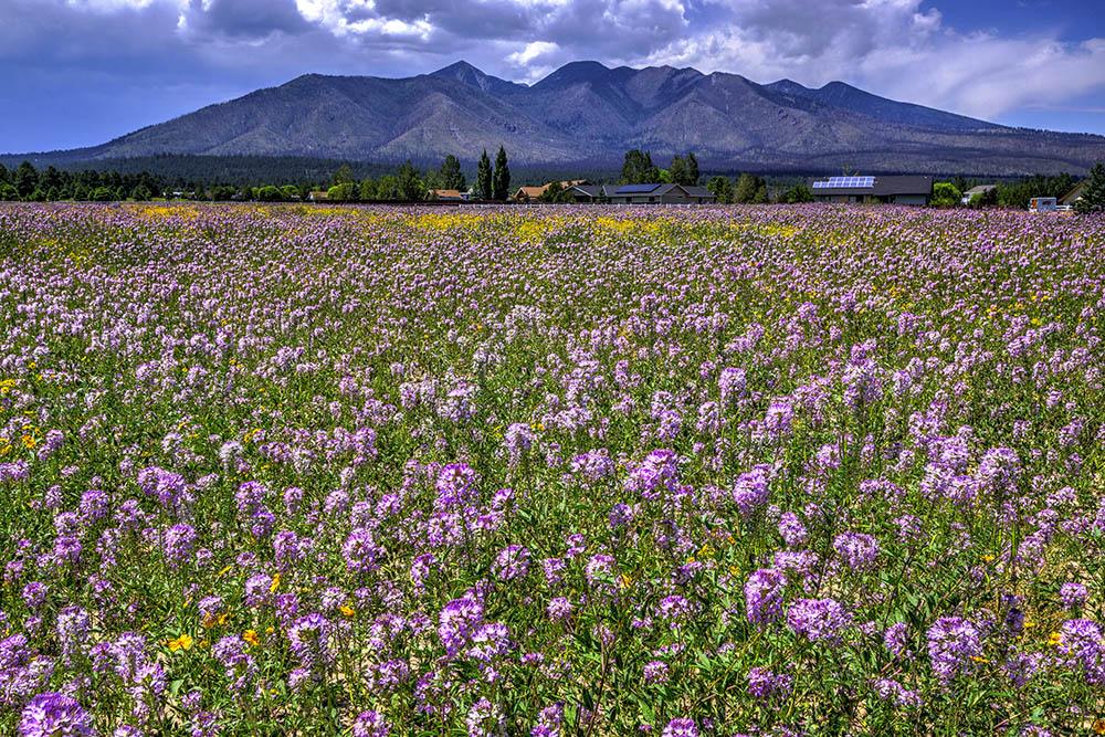 A field of Bee Plants near my N. AZ home.