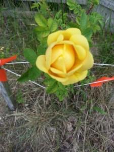 Roseslet