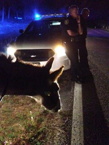 Outlaw donkey Jack nabbed in Okaloosa County Florida.