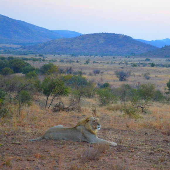 South-Africa-Safari-Lion-The-Big-Five