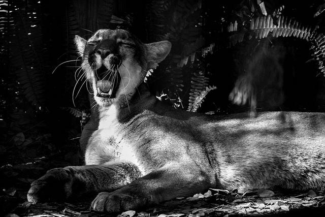 Florida Panther Yawning