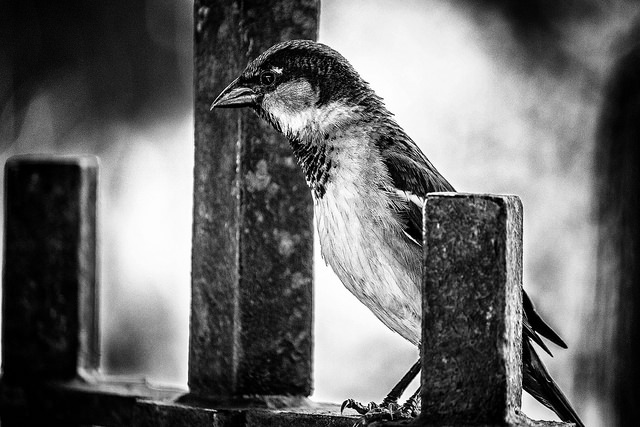 Sparrow on Gate