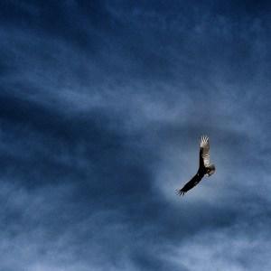 Soaring Vulture