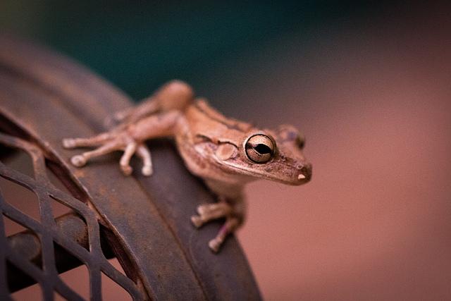Visiting Frog