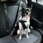 Näin koira matkustaa autossa turvallisesti