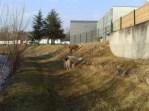 Des lamas sur la Bourbre