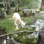 Un agneau est venu nous rendre visite pendant notre descente de la rivière
