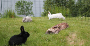 Om kaniner