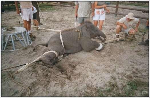 Elephant 'Training'