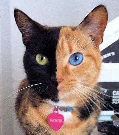 Gato de duas cores no rosto! Verdadeiro ou farsa?