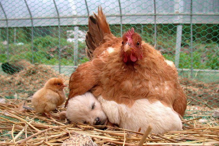 Hen & puppy cutie