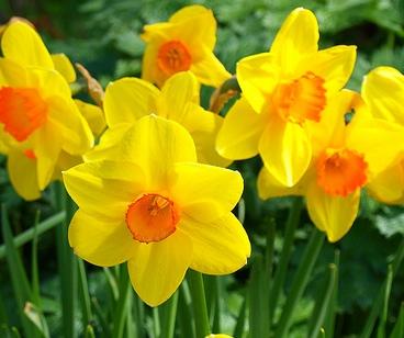 Plants We Love: Daffodil