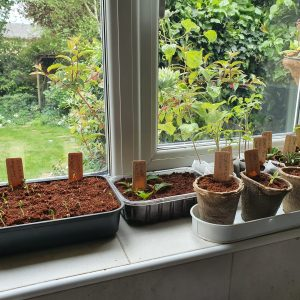 seedlings sprouting in coco coir on windowsill using e-pots products
