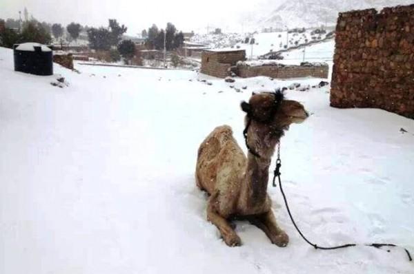 Χιόνι στην Αίγυπτο, οι καμήλες σε προβληματισμό