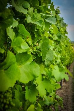 The cool climate of this region produces wines with more acidity and flavors less fruity than Chardonnay wines grown in warmer climates